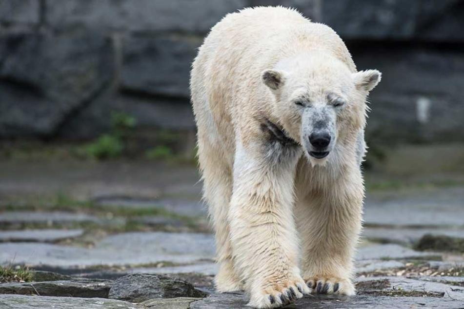 Möglicherweise ist Eisbärin Tonja wieder schwanger (Archivbild).