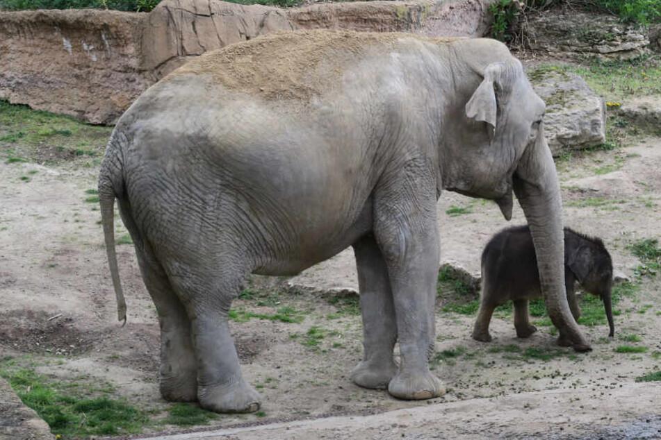 """Die Beziehung zwischen Jungtier und Elefanten-Tante Don Chung wird immer stärker. """"Sie verhält sich fast wie eine Mutter"""", sagt auch Zoo Direktor Prof. Jörg Junhold."""