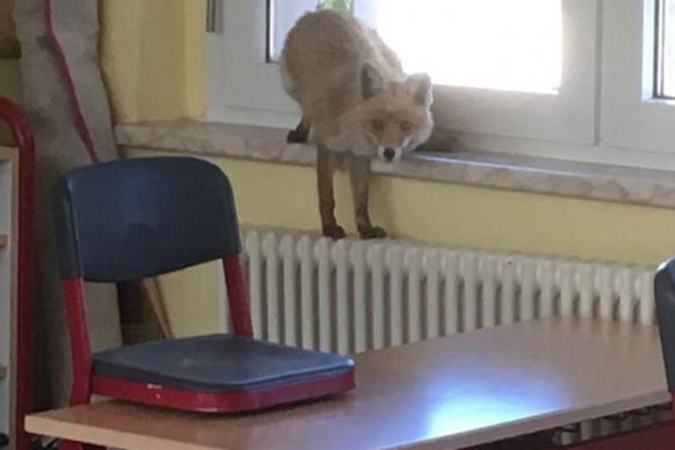 Hier wird ein Fuchs in der Schule erwischt