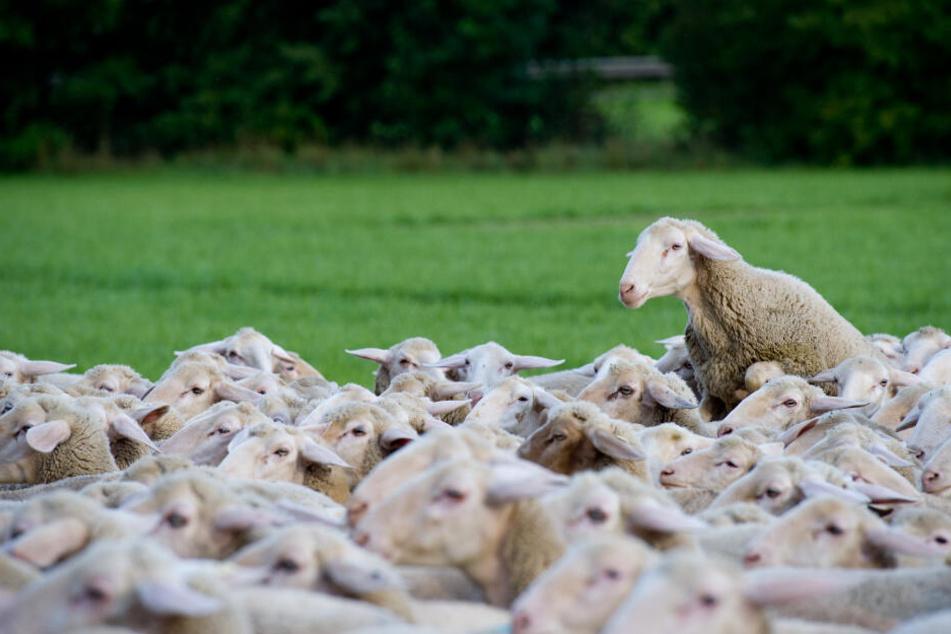 Die Erkrankung wird häufig von Schafen übertragen. (Symbolbild)