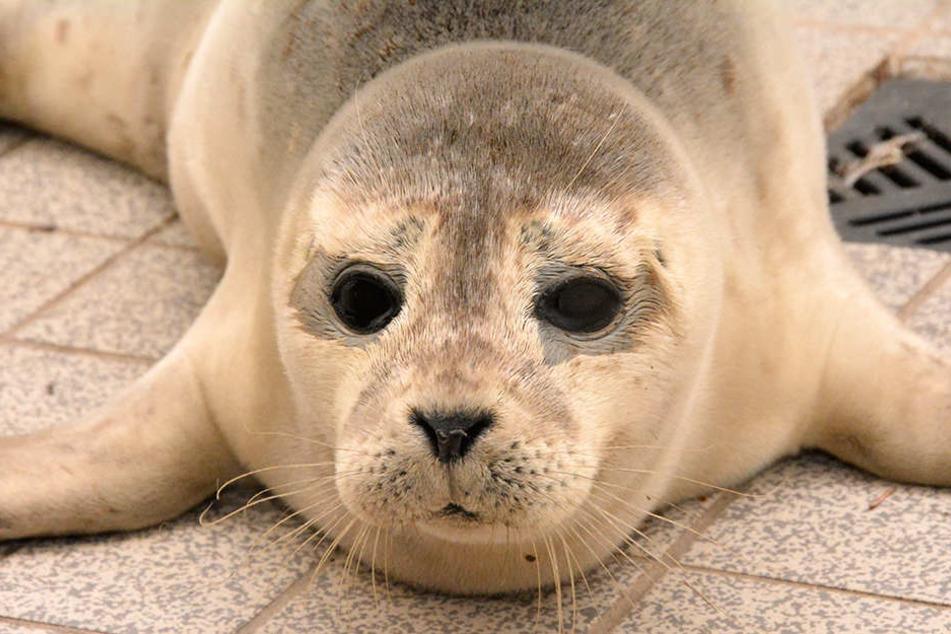 """Der fünf bis sechs Monate alte Seehund hatte sich während des Sturms """"Xavier"""" wegen des starken Seegangs auf das Festland gerettet."""