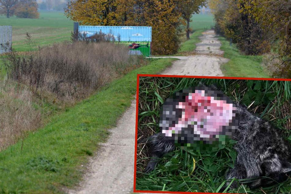 Grausamer Fund in Sachsen: Toter Waschbär einfach entsorgt