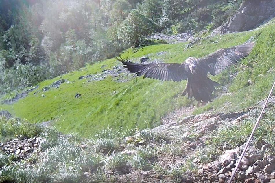 Die Aufnahme der Webcam zeigt, wie Bartgeierweibchen Wally in die Luft startet.