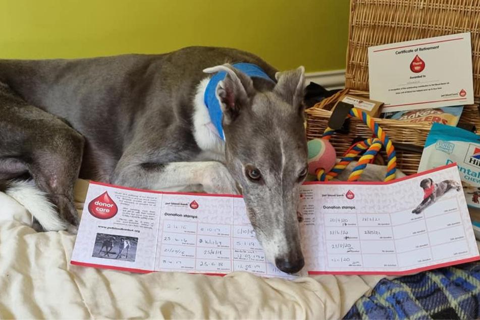 Windhund Woodie passt immer gut auf seinen Terminkalender auf, in dem all seine Blutspenden eingetragen sind.