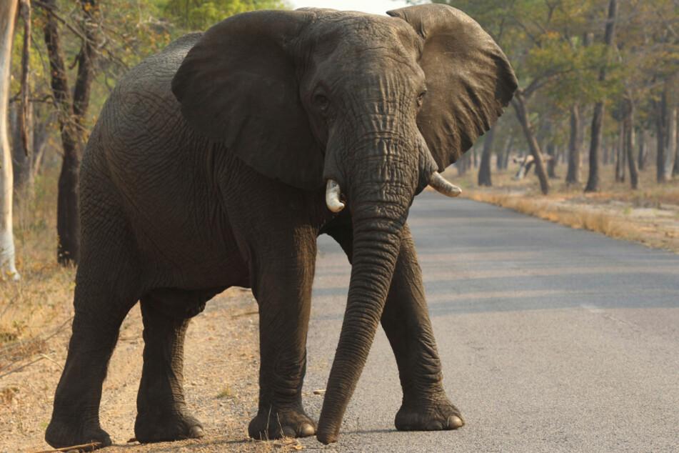 Anders als ein Elefant können die Kurzohrrüsselspringer mit ihrem Rüssel nichts greifen.