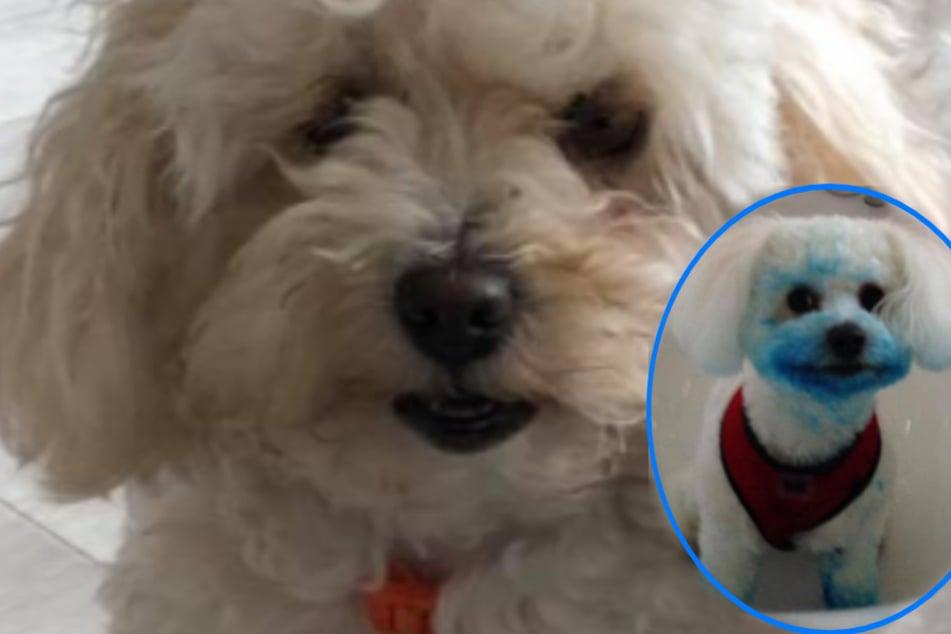 I'm blue dabadi dabadai: Hund frisst was aus dem Papierkorb und ist dann plötzlich ein Schlumpf