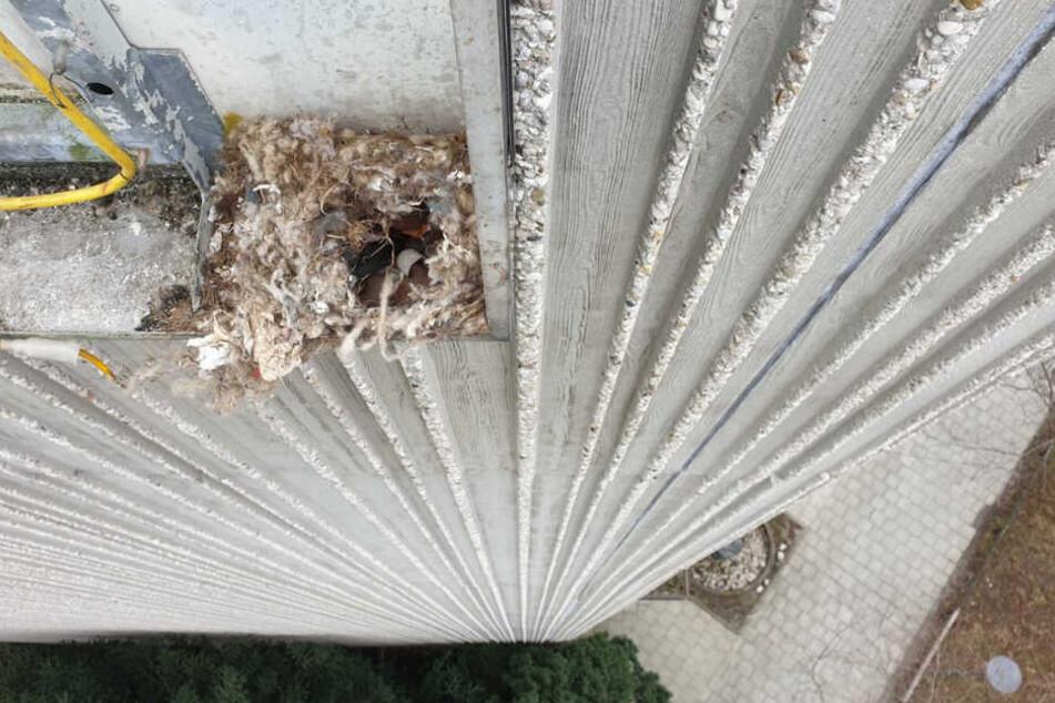 Das Nest samt Tierbabys drohte abzustürzen.