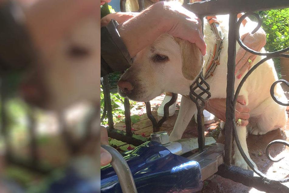 Die arme Labrador-Hündin musste von der Feuerwehr befreit werden.