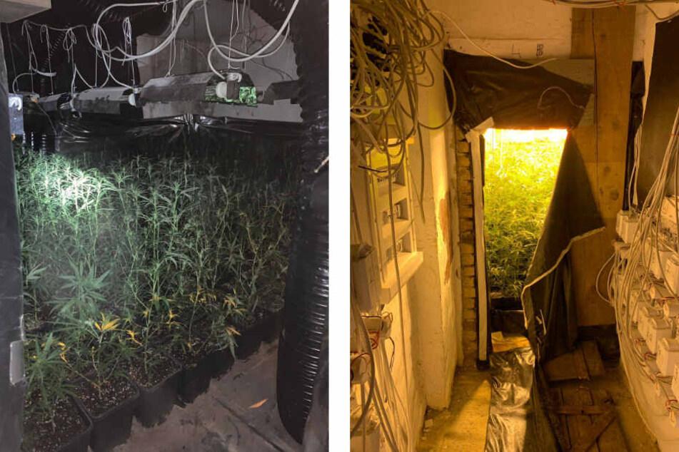 Mehr als 1500 Pflanzen wurden sichergestellt. Jeder Raum des durchsuchten Gebäudes sei für den Aufbau der Plantage genutzt worden.