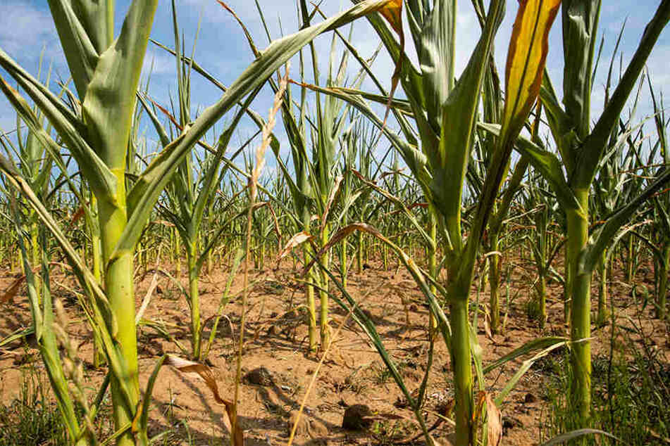 7. August 2018: Durch die Dürre beschädigte Maispflanzen stehen auf einem Feld in Bayern.