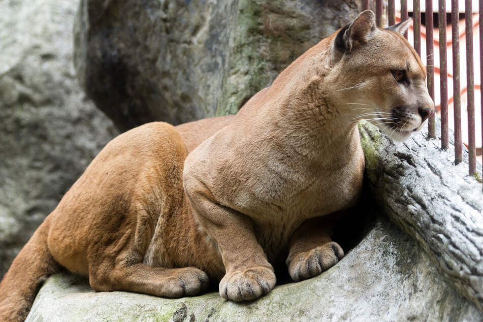 Wild cat in the apartment! Pet cougar is rescued in New York City