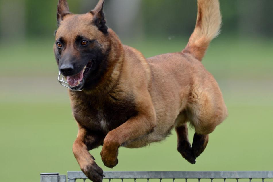 Ein Diensthund der Polizeistaffel (hier zu sehen ein Malinois) hat den flüchtenden Angreifer erwischt und zu Boden gebracht. (Symbolbild)