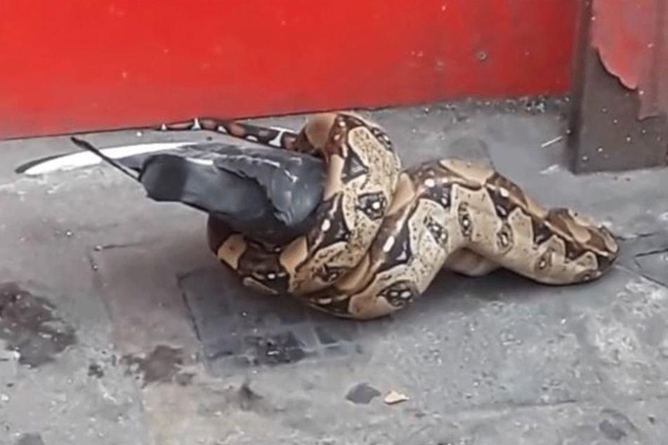 Keiner weiß, wo der Python herkam.