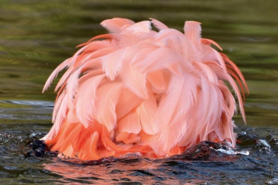 Flamingo-Küken tot aufgefunden: Zoo Krefeld hat einen Verdacht