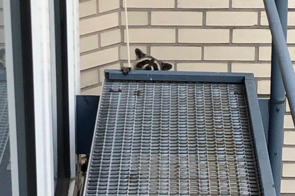 Raucher entdecken Waschbär: Der droht, fünf Meter in die Tiefe zu stürzen
