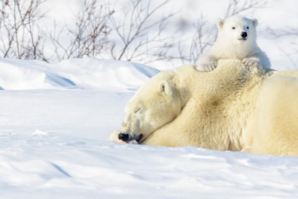 Klimawandel und die Folgen: Jetzt werden erstmals die Eisbären gezählt