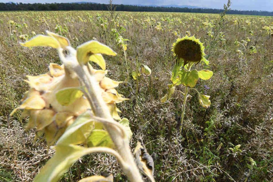 Eine Ackerfläche im Kreis Rastatt. Weil der Boden mit PFC belastet ist, wurde daraus eine Bienenweide gemacht. (Archivfoto)