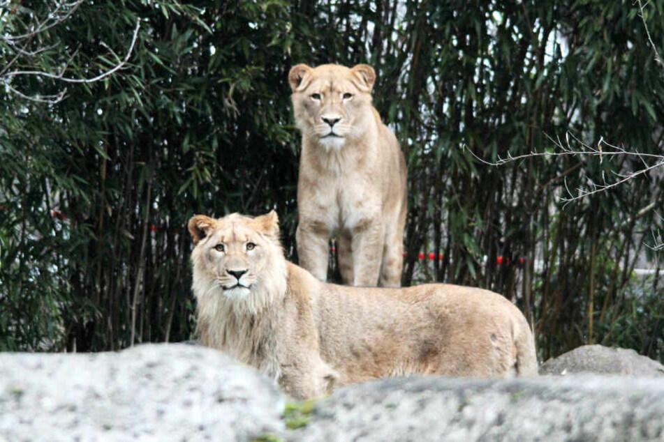 Löwen-Dame Kigali (hinten) soll erneut schwanger sein.