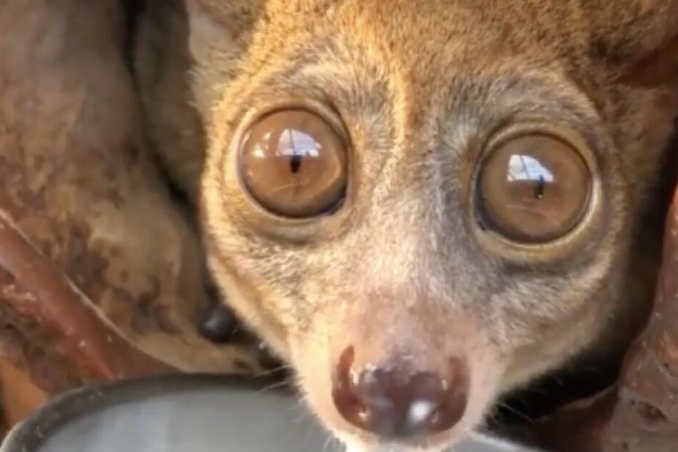 Ist doch klar, warum diese Affenart so große Augen hat, oder?