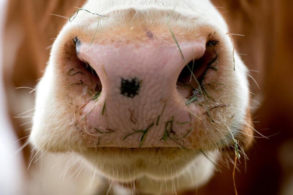 Viele der Kühe in den betroffenen Betrieben sind krank. (Symbolbild)