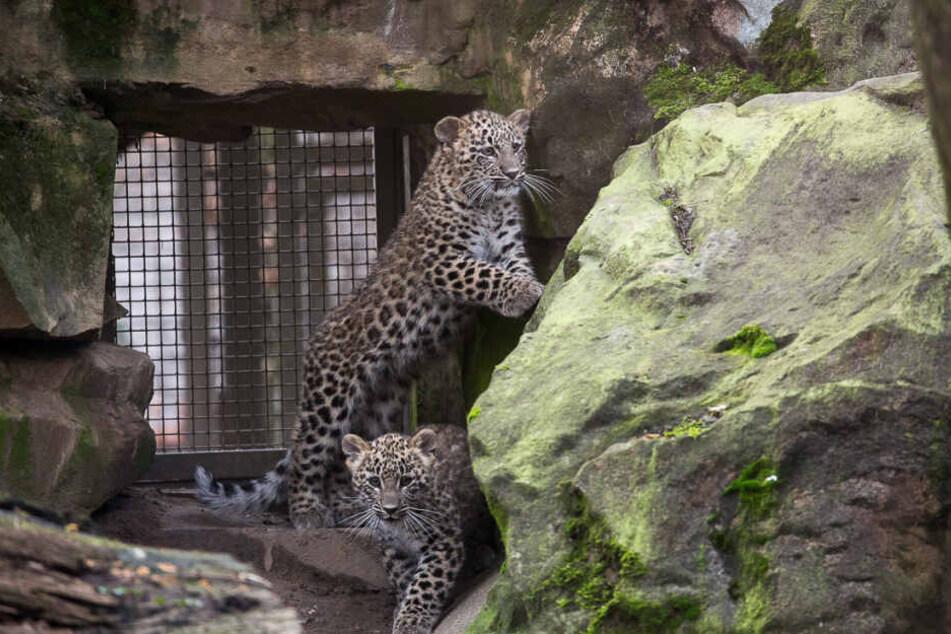 Die jungen Leoparden spielen zeitweise bereits im Freigelände im Kölner Zoo.