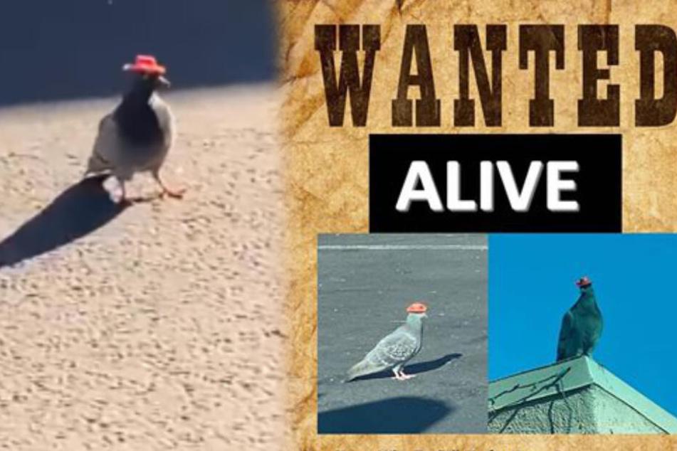 Tauben mit Cowboy-Hüten: witzige Aktion oder widerliche Tierquälerei?
