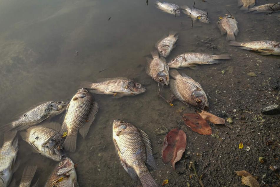 Durch die in die Flüsse gespülte Asche hat in Australien ein großes Fischsterben eingesetzt.