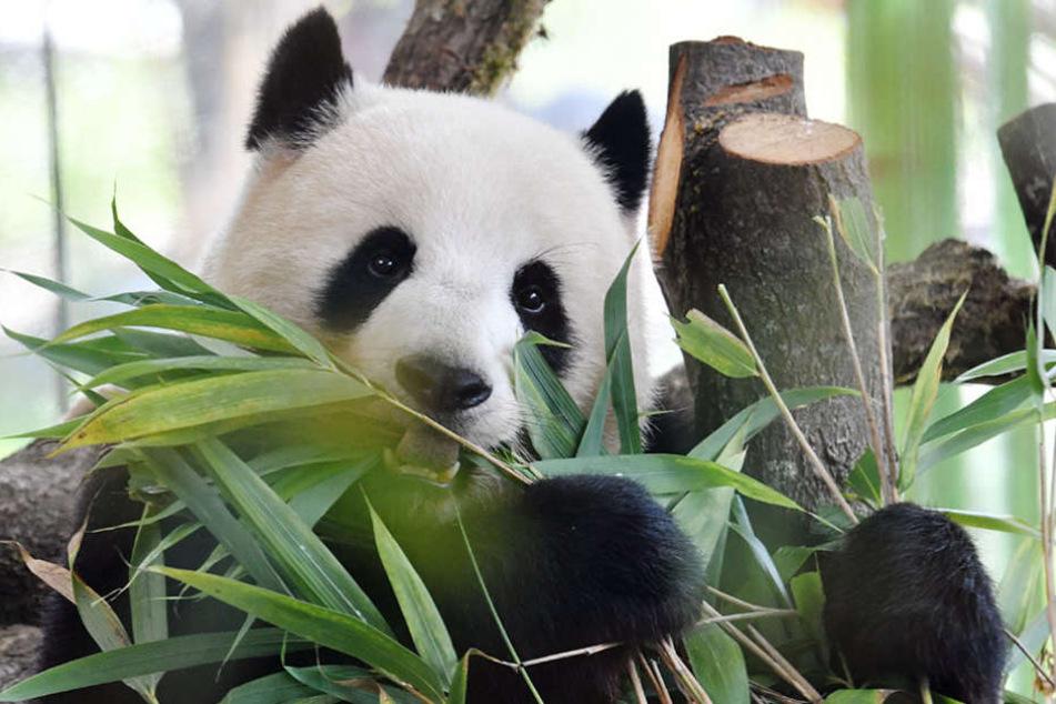 Panda-Dame Meng Meng mag nur frischen Bambus in ihrem Gehege.