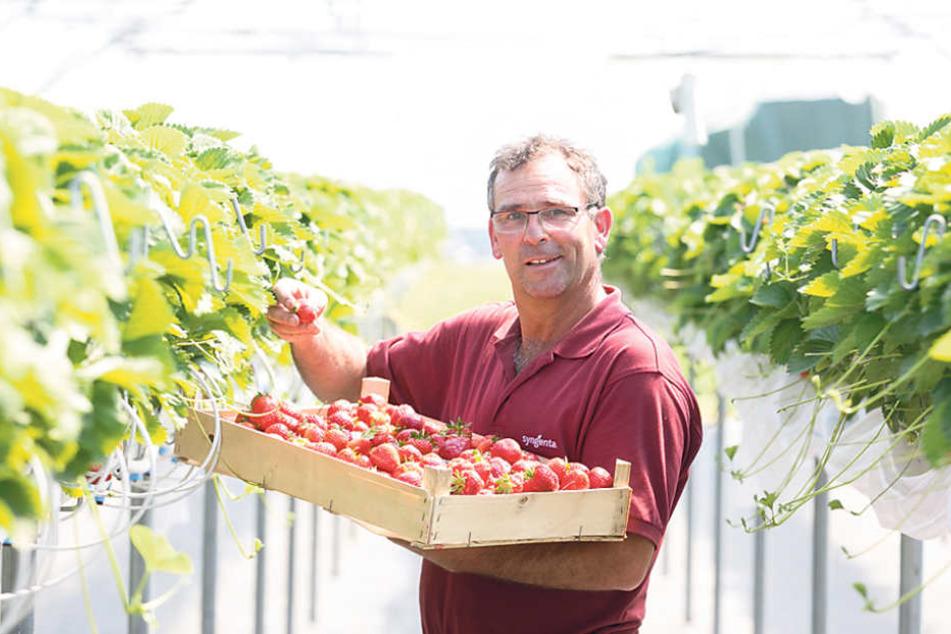 Auf Gut Pesterwitz in Freital bläst Chef Lars Folde (56) bereits zum  Ernte-Endspurt!