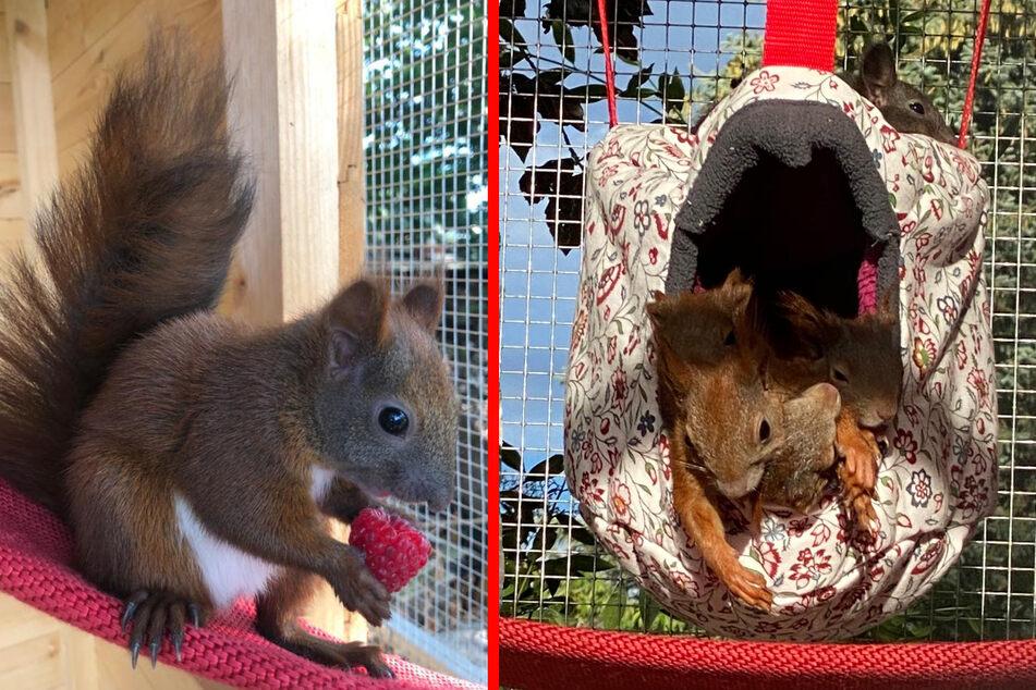 Eichhörnchen Asterix fühlt sich pudelwohl - würde das Glück aber gern teilen (F.l.). Vergangenes Jahr war das Gehege bei der Eichhörnchen-Mama noch rappelvoll (F.r.).