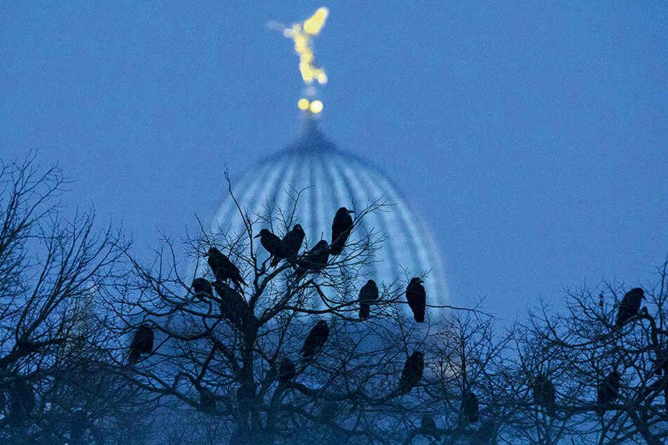 Etwa 2000 Krähen schlafen regelmäßig  am Zwinger, sammeln sich vorab an anderen Plätzen.