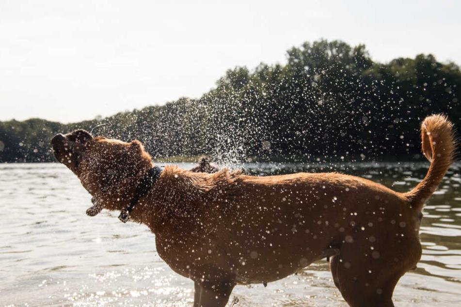 Abkühlung ist wichtig: Anders als Menschen können Hunde ihre Körpertemperatur nicht mit Schwitzen regulieren.
