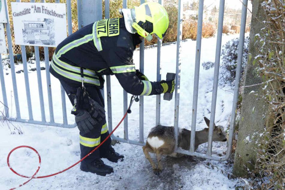 Die Feuerwehr bog die Gitterstäbe auf, damit sich das Reh befreien konnte.