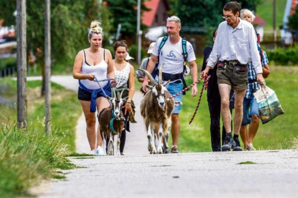 """Erste Tour in der Sächsischen Schweiz: Ziegenbock """"Gershi"""" (3) stieg voran, die Wanderer folgten."""