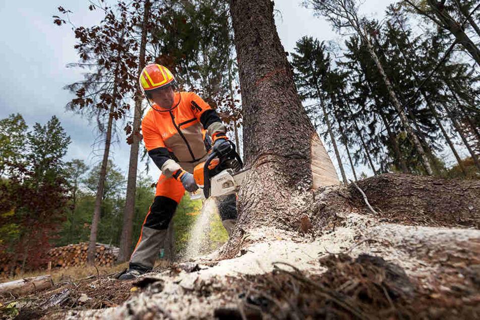 Forstarbeiter Mirko Enzmann (42) fällt derzeit kranke Fichten im Akkord.