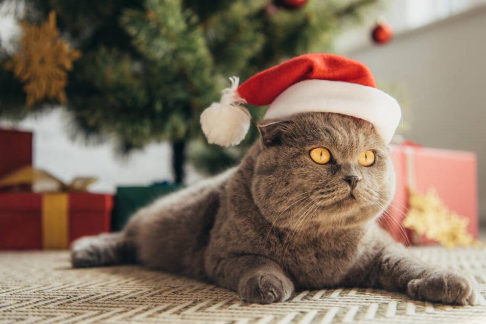Weihnachten mit Katzen - Wo lauern die 5 größten Gefahren?