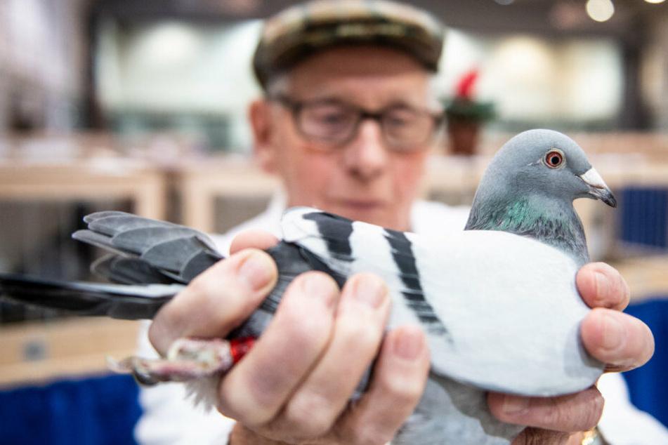 Ein Züchter mit seiner Brieftaube. Tierschutz werde groß geschrieben heißt es von Seiten des Verbandes.