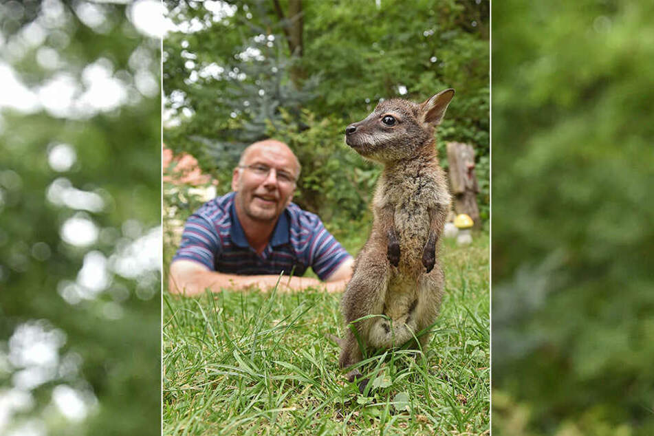 Die beiden haben sich gefunden: Känguru-Baby Gertrud erkundet vorsichtig die Welt, während ihr Ziehpapa Heiko Drechsler (56) auf sie aufpasst.