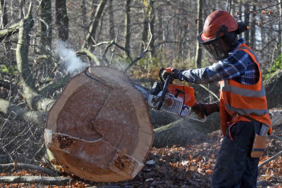 Hambacher Wald: RWE will mehr als die Hälfte der Bäume fällen