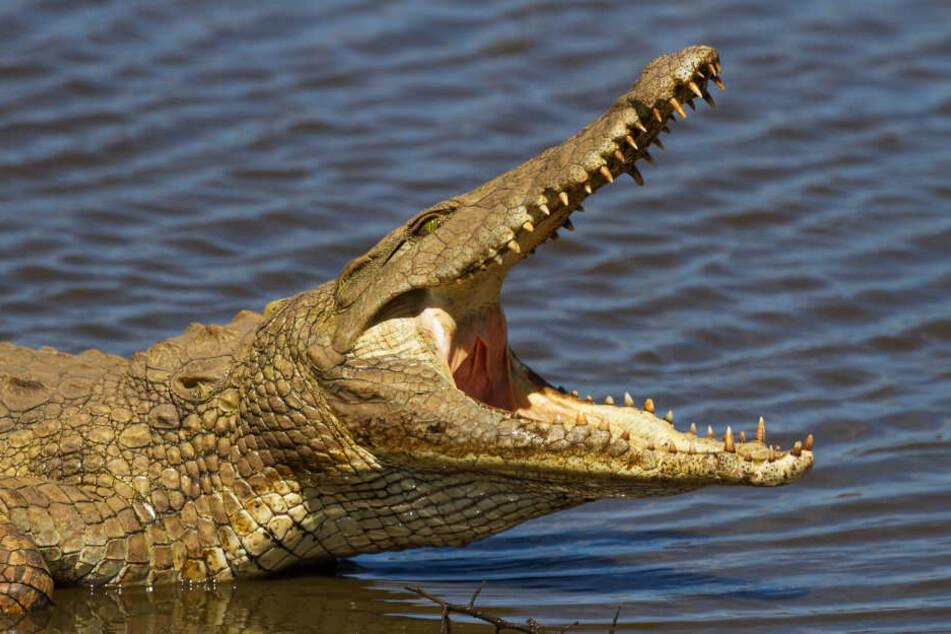 Das Krokodil biss dem Touristen den Arm teilweise ab. (Symbolbild)