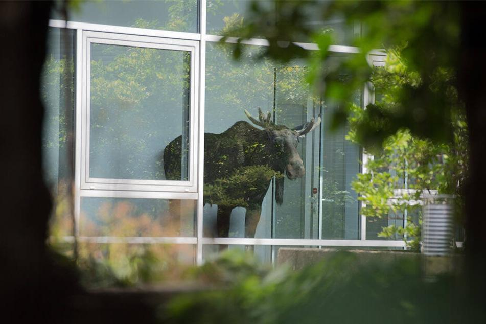 Ein Elch bei Siemens in Dresden: Was der junge Bulle dort im August 2014 suchte, wusste er wohl selber nicht.