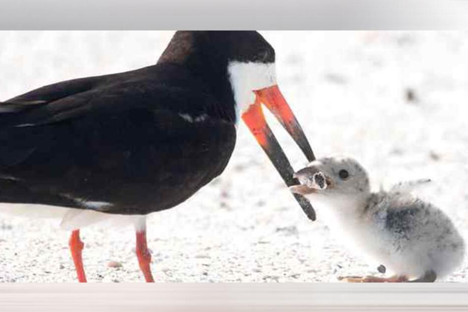 Die Vogelmutter füttert ihr Junges mit einer alten Kippe.