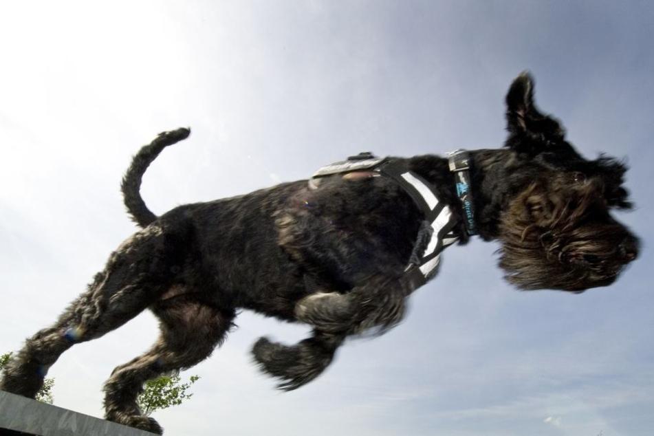 Bei dem Hund soll es sich um einen Riesenschnauzer gehandelt haben. (Symbolbild)