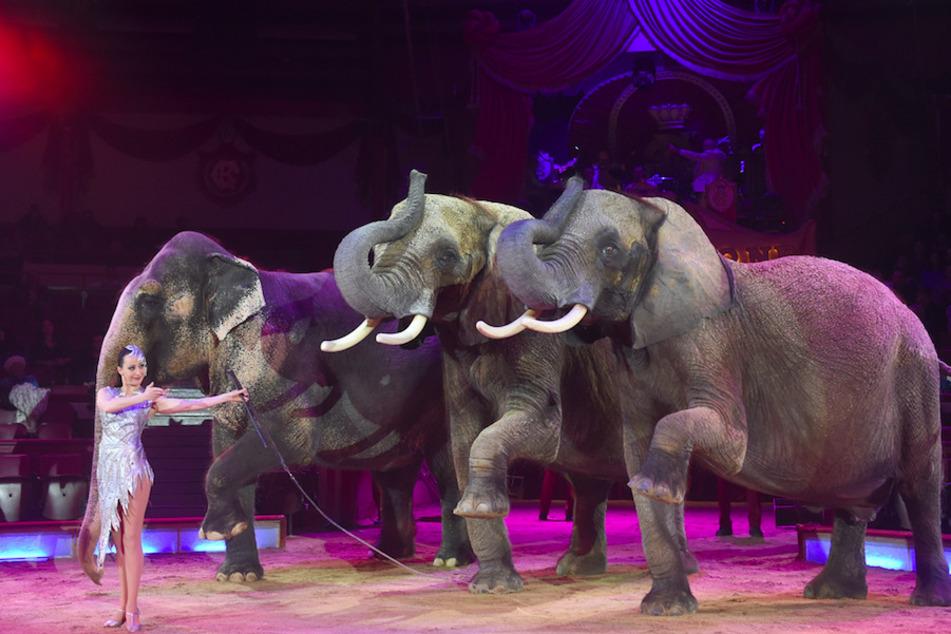 Jana Mandana Lacey-Krone tritt mit ihren Elefanten im Circus Krone 2016 auf - ganz links die afrikanische Elefantenkuh Mala. (Archivbild)