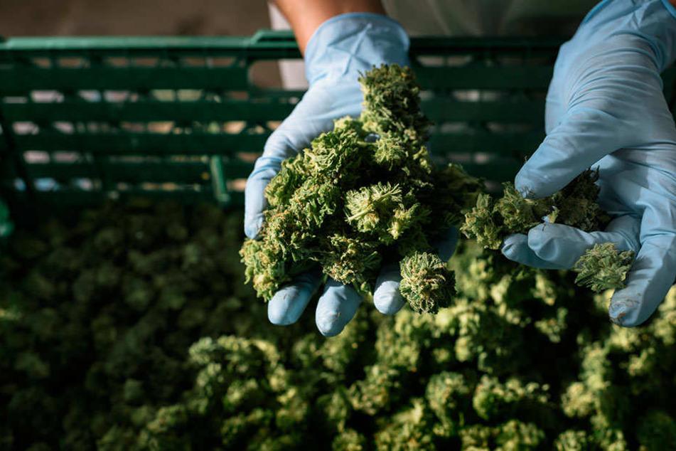 Die Knospen von Cannabis-Pflanzen, die für den medizinischen Gebrauch angebaut werden.