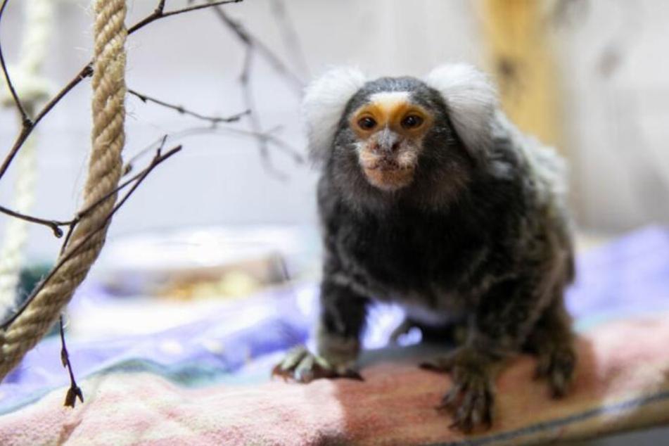 Rettung in letzter Sekunde! Affe in Wohnzimmer fast verhungert