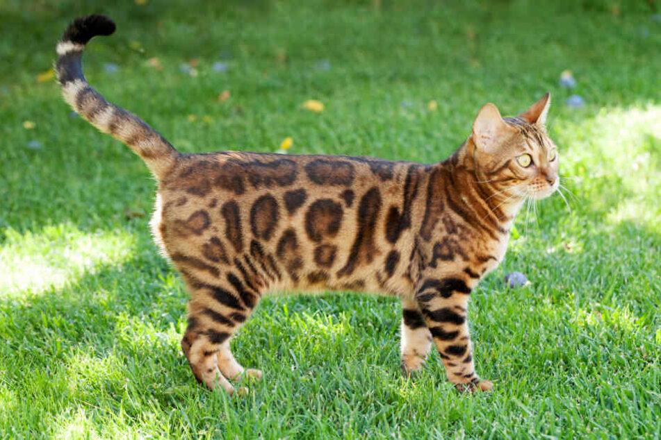 Ihre Gene macht die Bengalkatze zum super Jäger und Schwimmer.