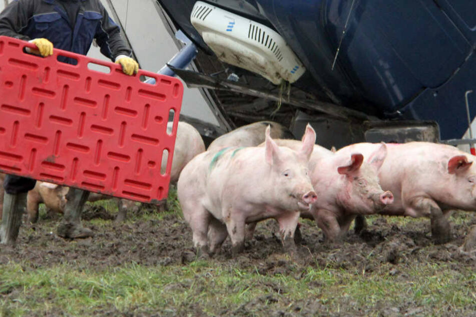 Nach dem Unfall treibt ein Mann Schweine auf einer Wiese zusammen.