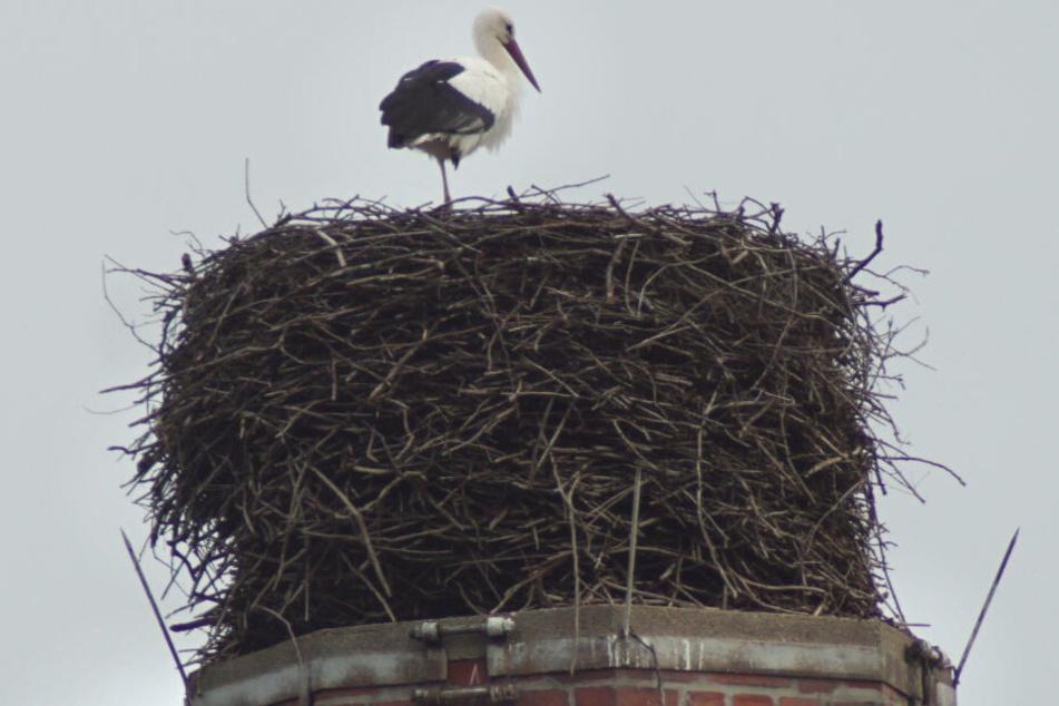 Im Kirchberger Ortsteil Cunersdorf macht's ein Storch sich lieber in seinem Nest gemütlich, als in den Süden zu ziehen.