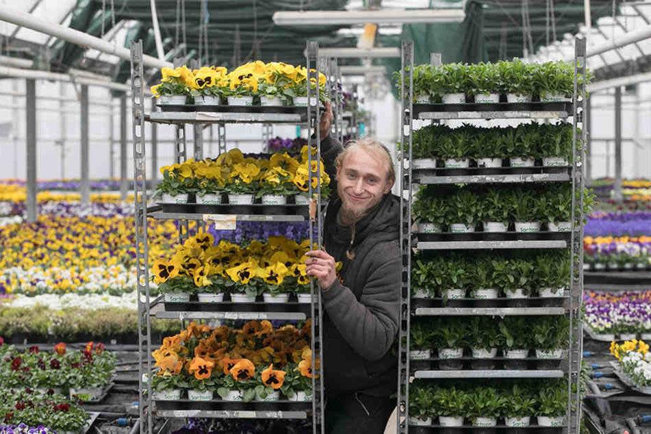 Wohin mit all den Frühblühern? Zierpflanzengärtner Daniel Kühling (27) schiebt die Regale im Gewächshaus der Gartenbau Rülcker GmbH hin und her.